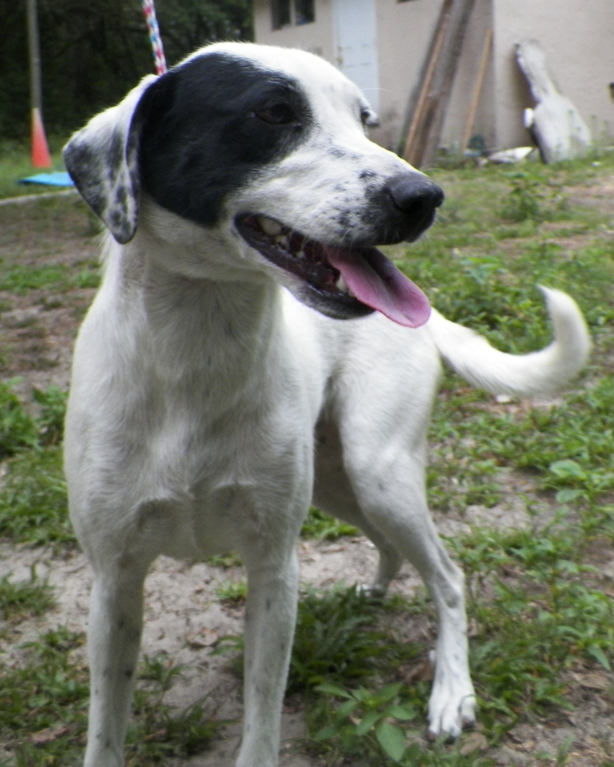 Border Collie Mix - Needs a Home