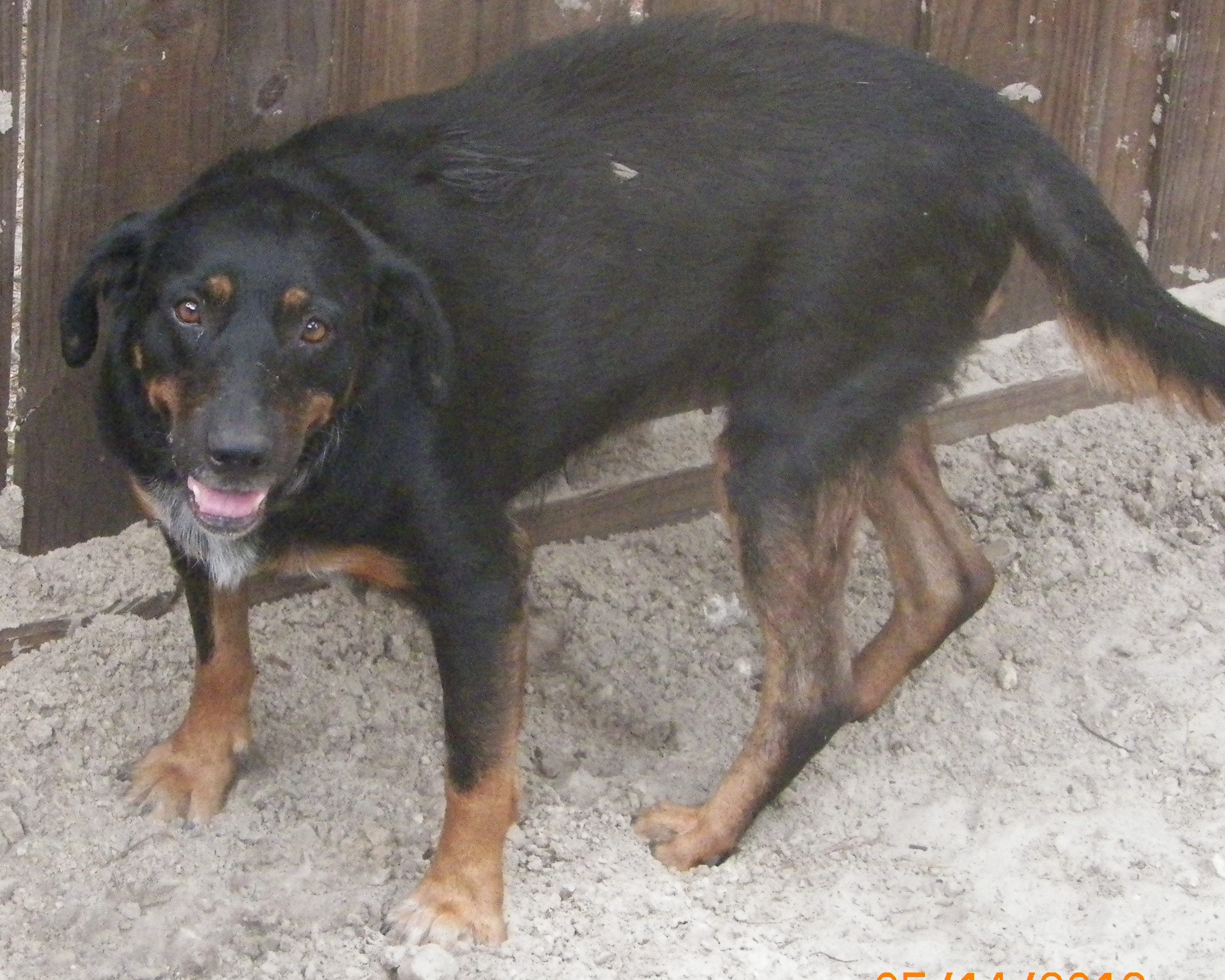 Rottweiler Mix Needs a Home - Kitty