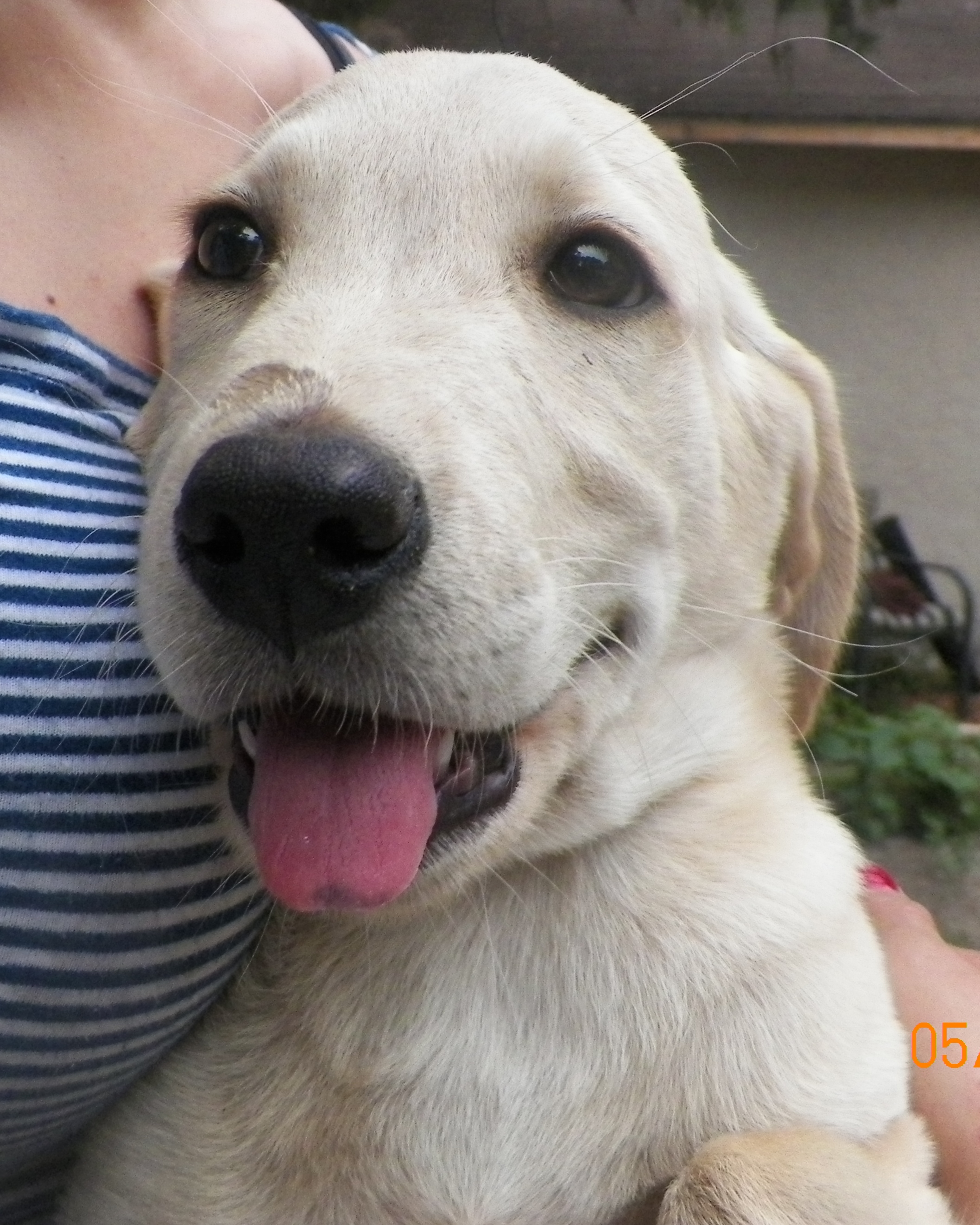 Yellow Lab Mix - Needs a Home
